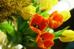 Bouquet of tulips and mimosa Royalty Free Stock Photo