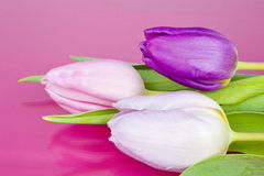 Bouquet of Tulips on pink background Stock Photos