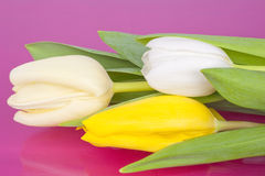 Bouquet of Tulips on pink background Stock Images