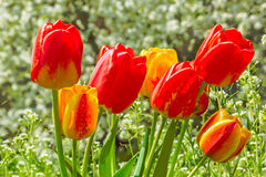 Bouquet of tulips on the spring lawn, close-up. Bouquet of multicolored tulips on the green spring  lawn in a sunny day, close-up Stock Photography