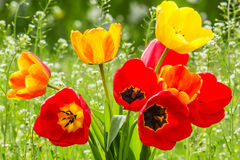 Bouquet of tulips on the spring meadow, backlit Stock Image