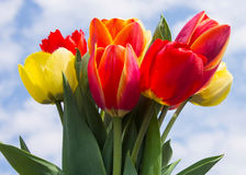 Bouquet of tulips. Tulip  spring  flower  bouquet  green  white  easter  nature  blossom  fresh Stock Image