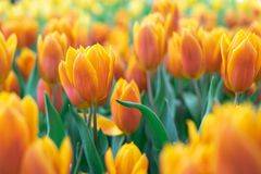 Bouquet of tulips Tulipa spp. L.. Give a warm feeling to the garden. Gardening ideas in the home Flower. Bouquet of tulips Tulipa spp. L.. Give a warm feeling to stock photography