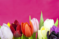 Bouquet of Tulips on violet background Royalty Free Stock Image