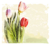 Bouquet of tulips. Royalty Free Stock Photos