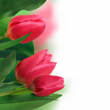 Bouquet of tulips on a white background. Royalty Free Stock Images