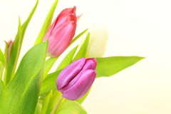 Bouquet of tulips. On white background Royalty Free Stock Images
