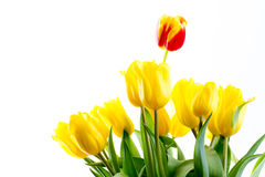 Bouquet of tulips on a white background Stock Images