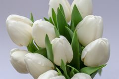 Bouquet of tulips on white background with copy space royalty free stock photos