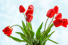 Bouquet of tulips on  white-blue background. Bouquet of red tulips on white-blue background Stock Photos