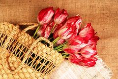 Bouquet of tulips in a wicker bag. Red-white rippled tulips in a wicker basket on a sacking background Royalty Free Stock Photo