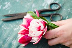 A bouquet of tulips in a woman`s hand Stock Images