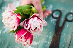 A bouquet of tulips in a woman`s hand Stock Photos