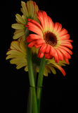 Bouquet of two colored gerberas Stock Photography