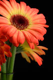 Bouquet of two colored gerberas stock images