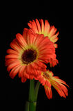 Bouquet of two colored gerberas Stock Photos