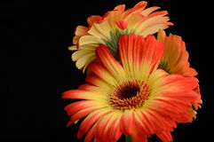 Bouquet of two colored gerberas Stock Photo