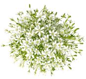 Bouquet of umbels-daisy flowers on white background. Bouquet of many umbels-daisy flowers on white background Royalty Free Stock Image