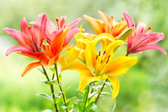 Bouquet of various lilies Royalty Free Stock Photography