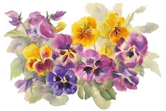 Bouquet of violas watercolor. Watercolor painting of purple flower . Can be used as a greeting card for background, birthday, mother`s day and textile patterns Royalty Free Stock Photography