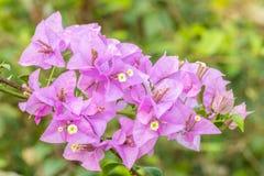 Bouquet violet flowers, Bougainvillea. Royalty Free Stock Photo
