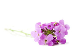 Bouquet of violet flowers on white Royalty Free Stock Images