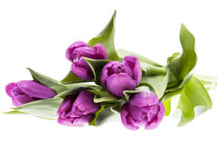 Bouquet of violet spring flower tulips isolated on white background Stock Photography
