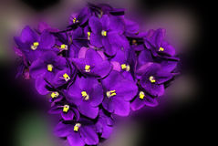 Bouquet of violets. Fresh violets on blurry background Royalty Free Stock Image