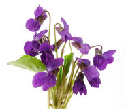 Bouquet of violets on white background Stock Photos