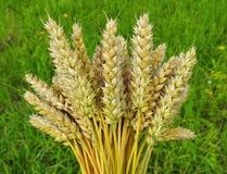 Bouquet of wheat plant Stock Photos