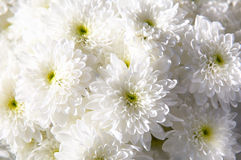 Bouquet of white autumn chrysanthemum Royalty Free Stock Images
