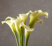 Bouquet of white calla flowers (Zantedeschia). Party decoration Royalty Free Stock Photography