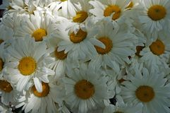 Bouquet of white camomiles. Bouquet of white daisies camomile flowers close-up. Selective focus Royalty Free Stock Photo