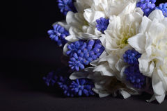 Bouquet of white chrysanthemum and blue grape hyacinth on black Royalty Free Stock Photo