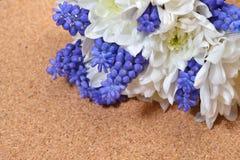 Bouquet of white chrysanthemum and blue grape hyacinth on cork b Stock Photos