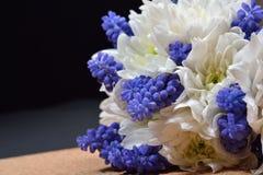 Bouquet of white chrysanthemum and blue grape hyacinth on dark b Royalty Free Stock Image