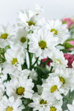 Bouquet of white chrysanthemums Stock Photography