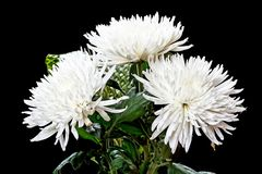 Bouquet of white chrysanthemums on a black Stock Photo