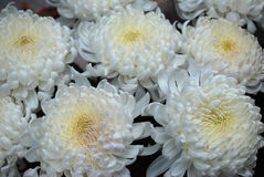 Bouquet of white chrysanthemums. Bright paints of autumn are chrysanthemums Royalty Free Stock Photos