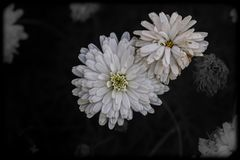 A bouquet of White Chrysanthemums royalty free stock image