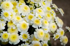 Bouquet of white daisies, a white flower with a yellow center, royalty free stock photos