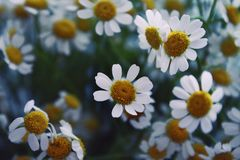 Spring daisies in early morning Royalty Free Stock Images