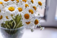Bouquet of white daisies in a vase near the window, on a white background.  stock image