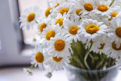 Bouquet of white daisies in a vase near the window, on a white background.  royalty free stock image