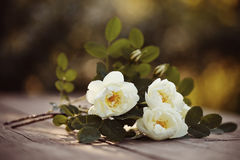 Bouquet of a white dogrose Stock Images