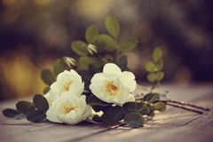 Bouquet of a white dogrose Royalty Free Stock Photo
