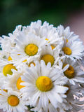 A bouquet of white field daisies on a green blurred background. Flowers with white petals and yellow pistils close-up Stock Photos