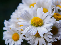 A bouquet of white field daisies on a green blurred background. Flowers with white petals and yellow pistils close-up Royalty Free Stock Image