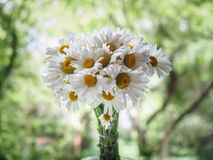 A bouquet of white field daisies on a green blurred background. Flowers with white petals and yellow pistils close-up Royalty Free Stock Photography