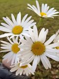 Bouquet of white flowers, daisy, daisies, hand, close up. Meadow in backgroud stock photography